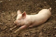 отечественная свинья Стоковые Фотографии RF