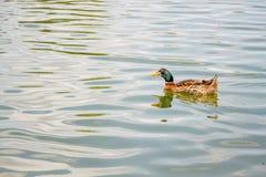 Отечественное заплывание утки кряквы в пруде Стоковая Фотография RF