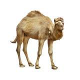Отечественное положение верблюда, изолированное на белизне Стоковое фото RF