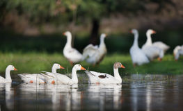 Отечественное стадо гусынь на озере Стоковое Фото