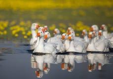 Отечественное стадо гусынь на озере Стоковые Изображения RF