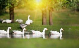 Отечественное стадо гусынь на озере Стоковые Фото