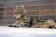 Отечественное cat Стоковое Изображение