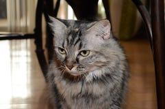 Отечественное cat Стоковая Фотография RF