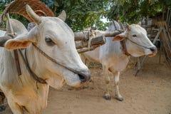 Отечественное Oxes обузданное в тележке в Мьянме Бирме Стоковое Изображение