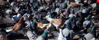 Отечественные голуби, голуби стоящ или ели в середине улицы Закройте вверх по взгляду с деталями Стоковая Фотография