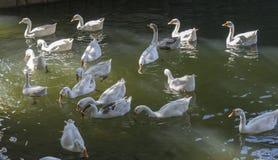 отечественные гусыни белые Стоковая Фотография