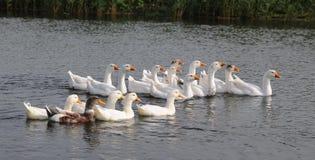 Отечественные гусыни в пруде Стоковая Фотография