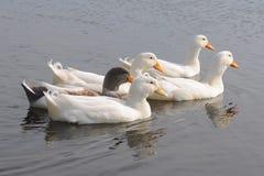 Отечественные гусыни в пруде Стоковое Фото