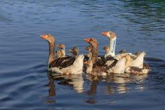 Отечественные гусыни на озере Стоковые Изображения