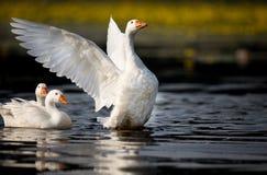 Отечественные гусыни на озере Стоковое Фото