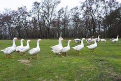 Отечественные гусыни пасут в луге Прогулка птицы на траве Отечественные гусыни идут на траву Сельская птица пасет в стоковая фотография