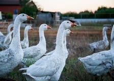 Отечественные гусыни пасут на традиционной ферме гусыни деревни Стоковые Изображения