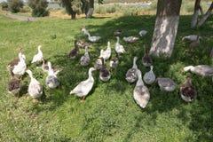 Отечественные гусыни пасут на традиционной ферме деревни Стоковое Изображение