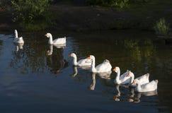 Отечественные гусыни плавая в пруде Стоковое Изображение RF