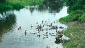 Отечественные гусыни плавая на воде Стоковое Изображение