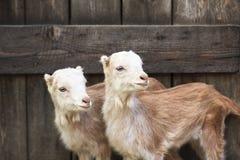 Отечественные козы в ферме Стоковые Фотографии RF