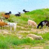 Отечественные козы на выгоне Стоковое Фото