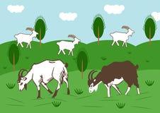 Отечественные козы пасут в луге в лете Стоковые Фотографии RF