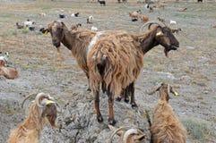 Отечественные козы Стоковое Фото