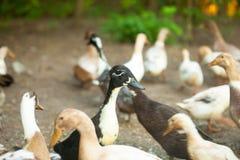 Отечественные коричневые утки Стоковые Фотографии RF