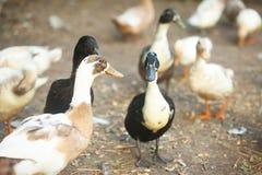 Отечественные коричневые утки Стоковая Фотография