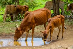 Отечественные коровы выпивая от лужицы Стоковое Изображение