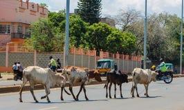 Отечественные коровы идя на улицу города в Африке Стоковое Изображение RF