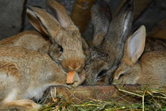Отечественные кролики Стоковая Фотография