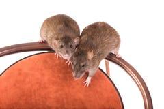 Отечественные крысы на стуле Стоковые Изображения