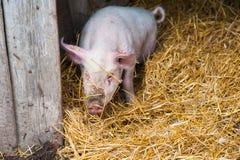 Отечественные свиньи на ферме Стоковое Изображение