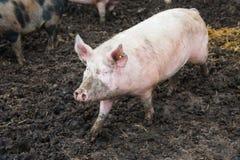 Отечественные свиньи на ферме Стоковые Фотографии RF