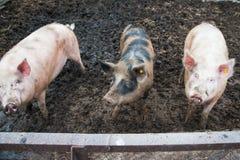 Отечественные свиньи на ферме Стоковые Фото
