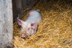Отечественные свиньи на ферме Стоковая Фотография RF