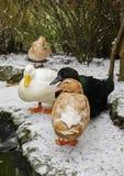 Отечественные утки стоя в снеге в зиме вертикально Стоковые Изображения