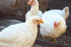 Отечественные цыплята на ферме стоковые изображения rf
