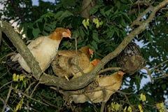 Отечественные цыплята прячут стоковые изображения rf