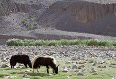 Отечественные grunniens быка яков в Ladakh, Индии Стоковое Фото