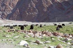 Отечественные grunniens быка яков в Ladakh, Индии Стоковые Изображения RF