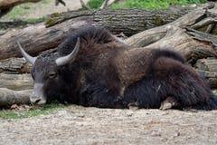 Отечественные grunniens быка яков Стоковые Изображения
