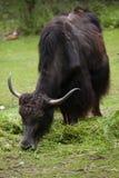 Отечественные grunniens быка яков Стоковые Фото