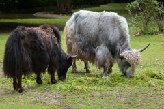 Отечественные grunniens быка яков Стоковая Фотография
