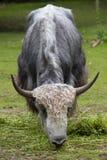 Отечественные grunniens быка яков Стоковое Изображение RF