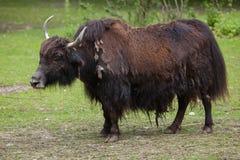 Отечественные grunniens быка яков Стоковые Изображения RF