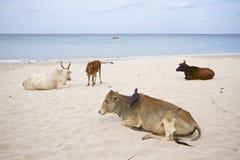 Отечественные oxes на пляже, Uppuveli, Шри-Ланке Стоковое Фото