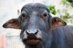 Отечественный азиатский буйвол Стоковое фото RF