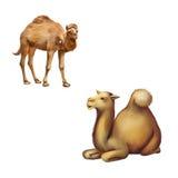 Отечественный верблюд стоя и кладя отдыхать на Стоковые Фотографии RF