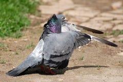 Отечественный голубь Стоковые Изображения