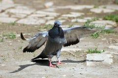 Отечественный голубь Стоковые Фотографии RF