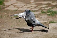 Отечественный голубь Стоковое фото RF
